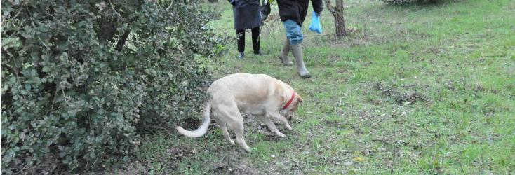 chien chercheur de truffe